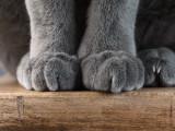 Chats polydactyles: la polydactylie chez le chat