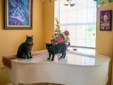 Les risques d'accidents domestiques pour les chats