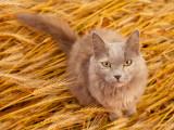 Les épillets : quels dangers pour le chat, et que faire ?