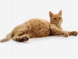 Contraception du chat : les différents moyens contraceptifs