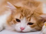 L'insuffisance rénale aiguë chez le chat