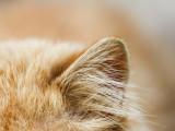 La surdité chez le chat