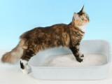 Obstruction urinaire : les calculs urinaires chez le chat