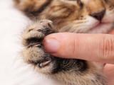 La maladie des griffes du chat
