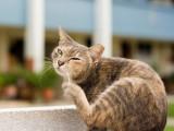 La pyodermite chez le chat