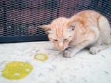 Les allergies alimentaires chez le chat