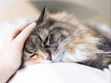 La leucémie féline : le virus FeLV du chat