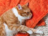 Le lymphome du chat: causes, symptômes, traitement
