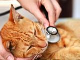 Le souffle au coeur chez le chat
