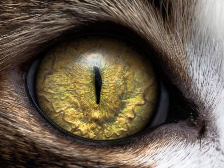 L'atrophie progressive de la rétine (APR) chez le chat