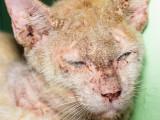 La teigne chez le chat : symptômes, traitement, prévention...