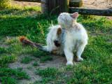 Les poux du chat : transmission, détection et traitement