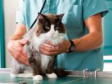 Comment régler les problèmes de peau chez les chats ?