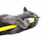 Le tartre et le détartrage des dents du chat