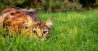 La notion de territoire chez le chat