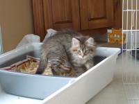 La litière et l'apprentissage de la propreté par les chatons