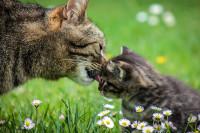 Un chaton doit-il grandir avec sa mère ?