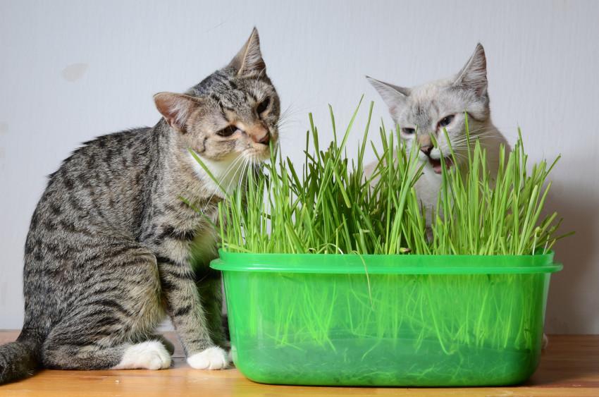 Chat en appartement optimiser l espace pour lui offrir un r el terrain de jeu - Herbe a chat entretien ...