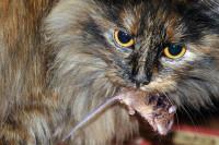 Le chat reste un carnivore avant tout