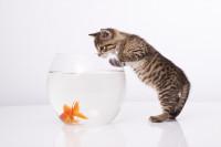 Nourrir un chaton sevré