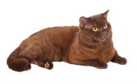 Brown ou chocolate (brun ou chocolat)