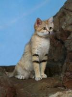 Quel félin est le chat des sables ?