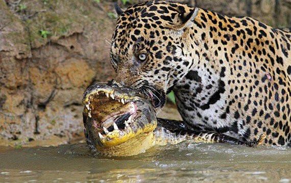 jaguar amazonie regime alimentaire