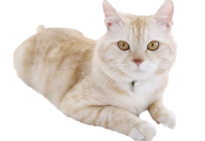 Big Beige Cat