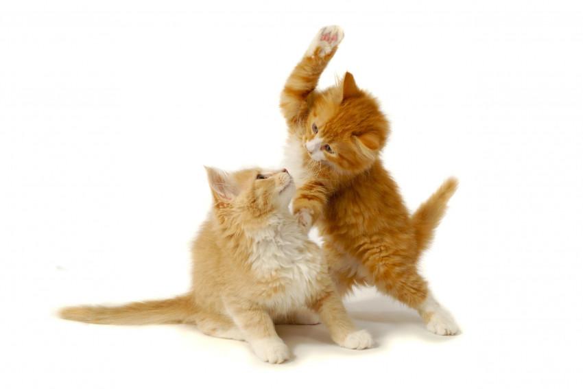 Comprendre et viter l 39 agressivit chez le chat - A quel age couper les griffes d un chaton ...