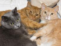 Le mode de vie influe sur la malpropreté chez le chat