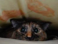 Les manifestations du stress chez le chat
