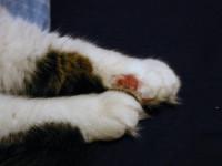 Les maladies liées au stress du chat