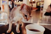 L'origine des cafés à chat