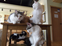 Le principe et les règles des cafés à chats