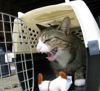 Des conseils pour lutter contre le mal des transports chez le chat