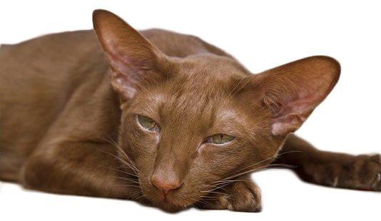 chats européens roux