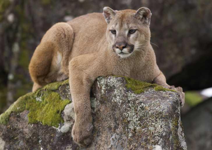 Le puma : morphologie, habitat, alimentation, mode de vie...