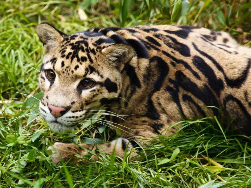 moins impressionnants que les félins les plus imposants (lion, jaguar,  guépard, puma), ces chats sauvages sont bien souvent méconnus du grand  public.