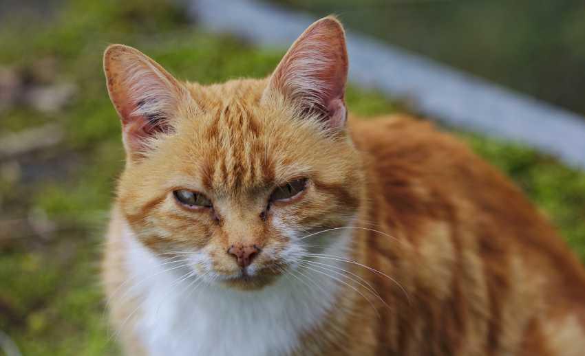 identification du chat : puce électronique et tatouage 🐱