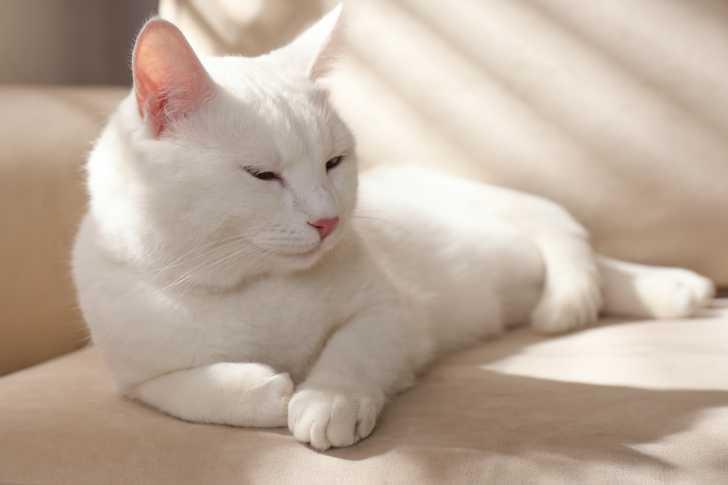 Chats blancs : caractéristiques, surdité & plus belles races