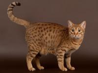 Croiser des chats pour obtenir de nouvelles races de chats