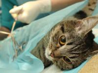 Soigner un chat atteint d'arthrose