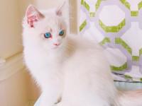 La surdité chez le chat blanc