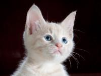L'acuité auditive du chat