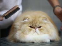 Comment éliminer les boules de poils du chat ?