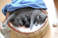L'allaitement et les premières semaines de vie des chatons