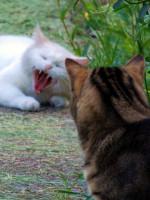 Les inconvénients avec une chatte non stérilisée