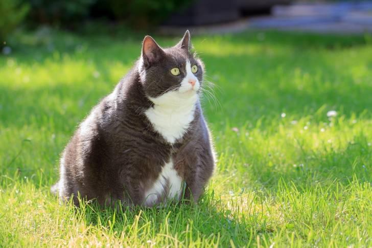 L'hypertension artérielle du chat : symptômes, causes..