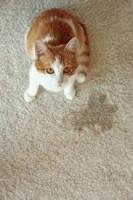 Observation des signes d'incontinence du chat âgé
