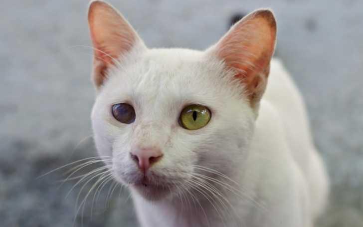 La Cataracte Chez Le Chat